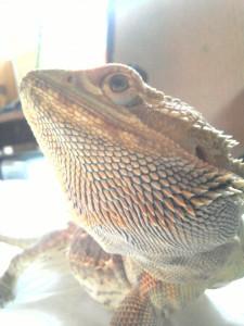 Pogona Vitticeps dans Pogona 2010-11-14-16.05.441-225x300